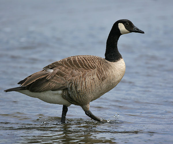 Duck Duck GOOSE!
