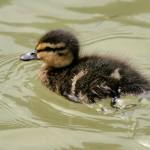 duckling_001